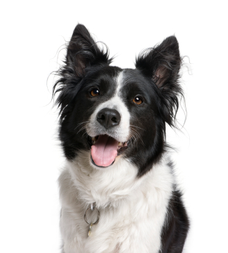 Border Collie, 7 years old, sitting in front of white background, studio shot